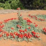 NSW Aust Inland Botanical Gardens 7